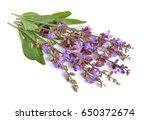 Salvia Officinalis  Sage  Also...