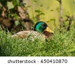 wild duck by the lake. malard... | Shutterstock . vector #650410870