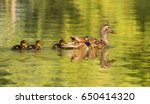 mother duck with duckling on... | Shutterstock . vector #650414320
