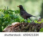 Blackbird With Worms In Beak.