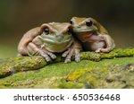 dumpy frog  frogs  tree frog  | Shutterstock . vector #650536468