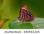 Beautiful Butterfly Lesser...