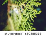 green thuja tree branches close ... | Shutterstock . vector #650585398