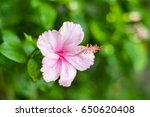 Pink Hibiscus Flower Focus On...