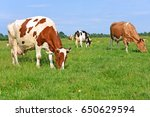 cows on a summer pasture | Shutterstock . vector #650629594