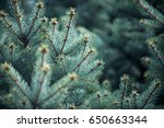 Nature Background Of Fir Tree...