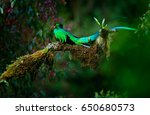 resplendent quetzal ...   Shutterstock . vector #650680573