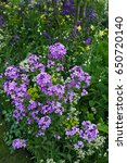 Small photo of Colourful planting with flowering Hesperis in a Cottage garden