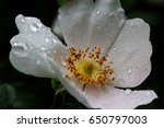 close up of a dog rose  wild... | Shutterstock . vector #650797003