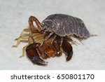Small photo of Scorpion with Isopoda