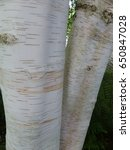 Small photo of Trunk of a Betula jacquemontii (Himalayan birch, bhojpatra), Betulaceae family.