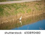 white heron catches fish in... | Shutterstock . vector #650890480