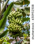 green banana tree | Shutterstock . vector #650952508