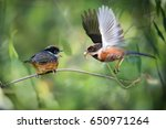 Small photo of Black throated Bushtit (Aegithalos concinnus) flying with prey, feeding the chick