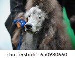 gray royal poodle portrait | Shutterstock . vector #650980660