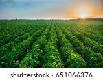 Green Bean Crop Field On The...