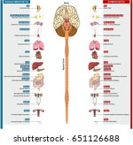 the autonomic nervous system... | Shutterstock .eps vector #651126688