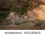 red fox  vulpes vulpes  czech... | Shutterstock . vector #651165610