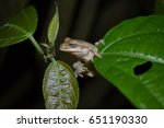 Small photo of Common Tink Frog