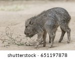 twin chacoan peccary piglets | Shutterstock . vector #651197878