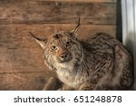 injured by bullet lynx in a...   Shutterstock . vector #651248878