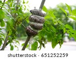 Graft On Tree Branches Is...