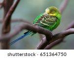 Budgerigar   Song Parrot...