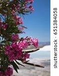 Beautiful Rose Oleander In...