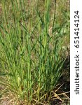Small photo of Couch Grass ,Elymus repens in the garden