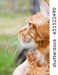 red maine coon | Shutterstock . vector #651522490