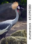 Small photo of The grey crowned crane (Balearica regulorum) is a bird in the crane family Gruidae. It occurs in dry savannah in Africa south of the Sahara, although it nests in somewhat wetter habitats.