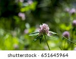 clover  trifolium pratense  on... | Shutterstock . vector #651645964