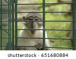 Sad Monkey In A Zoo Cage
