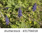 Small photo of The flowers of ajuga in a spring forest.
