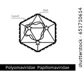 polyomaviridae papillomaviridae.... | Shutterstock .eps vector #651710614