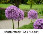 allium cristophii  star of...   Shutterstock . vector #651716584