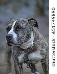 Small photo of American Staffordshire terrier