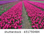Pink Tulips In A Tulip Field I...