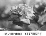 roses flowering in garden | Shutterstock . vector #651755344
