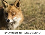 red fox against a nature... | Shutterstock . vector #651796540