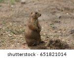 black tailed prairie dog close... | Shutterstock . vector #651821014