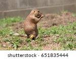 black tailed prairie dog close... | Shutterstock . vector #651835444