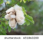 white silk cotton tree  floss... | Shutterstock . vector #651863200