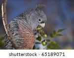 female gang gang cockatoo... | Shutterstock . vector #65189071