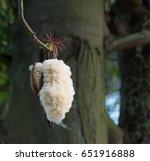 fresh ceiba pods on tree  white ... | Shutterstock . vector #651916888