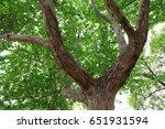 platanus orientalis branch | Shutterstock . vector #651931594