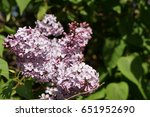 flowering lilac branches | Shutterstock . vector #651952690