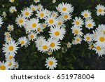 Chamomile On The Garden Bed ...