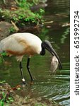 Small photo of African sacred ibis perches was eating fish in the lake on the lake