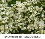 Small photo of Alpine saxifrage, Saxifraga paniculata, Saxifragaceae family